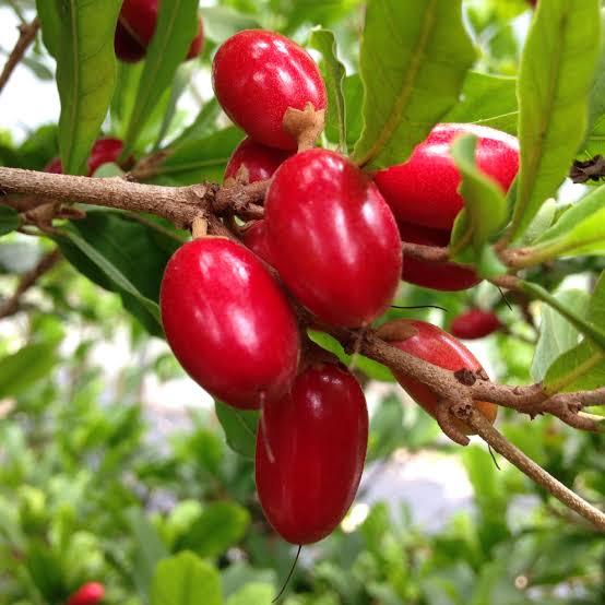 Bibit Miracle Fruit Atau Buah Ajaib