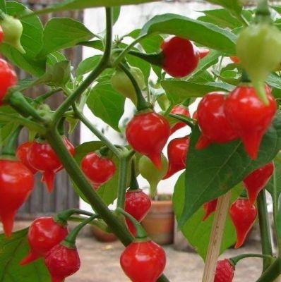 Red Cupetinho Chili